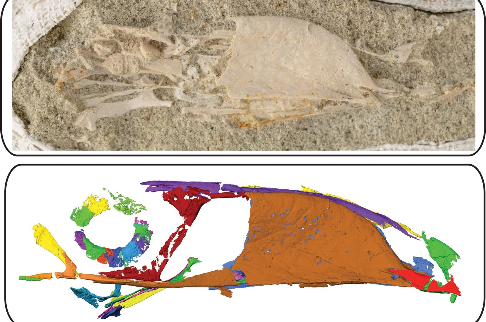 This file photo shows a photograph (up) and a scan produced by high-resolution micro-computed tomography (オCT) of the skull of a Falcatakely fossil, the latter technology used to help detect delicate bones that could not be extracted without damaging them on Nov. 10, 2020. (AFP Photo)