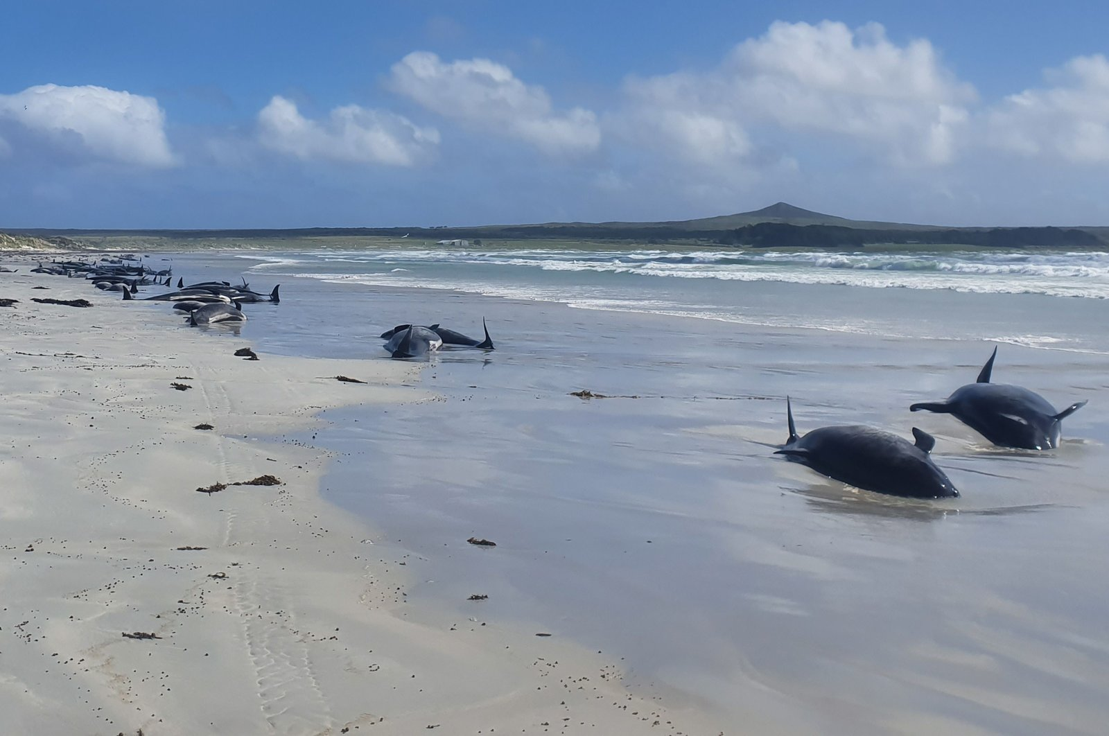 A handout photo taken on 22 November, 2020 and received on 25 November from the New Zealand Department of Conservation (DOC) shows some of the 100 dead pilot whales stranded on New Zealand's remote Chatham Islands. (AFP PHOTO / DEPARTMENT OF CONSERVATION Photo)