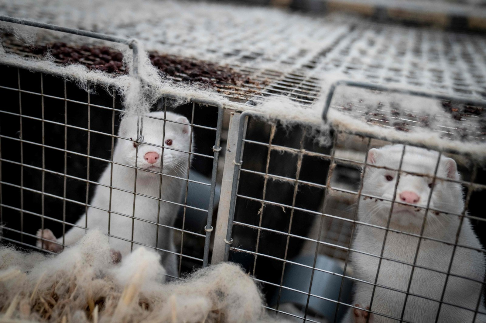 Mink look out from their cage at a farm near Naestved, Denmark, Nov. 6, 2020. (AFP Photo)