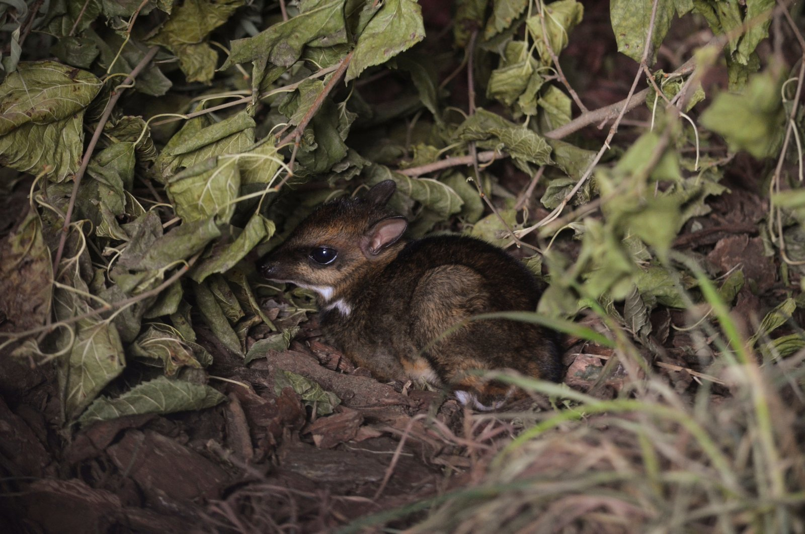 Philippine mouse-deer, born at Zoo Wroclaw, Poland on Nov. 10, 2020.