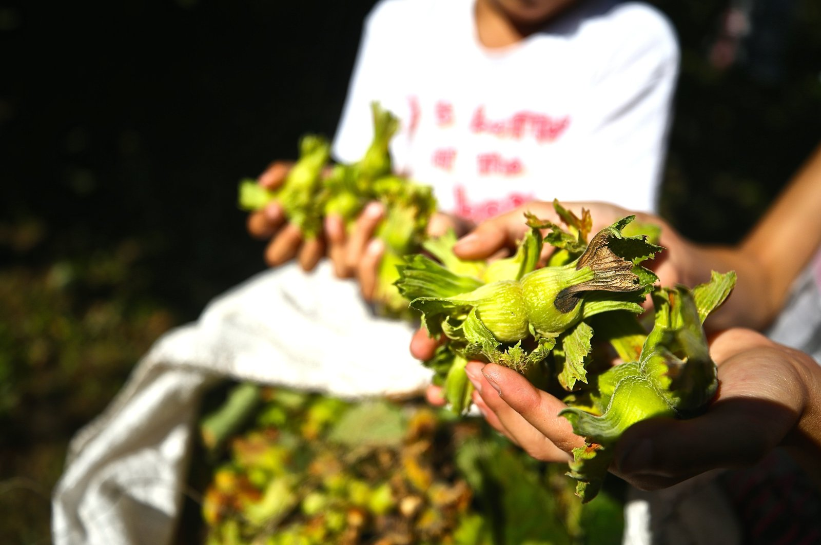 A producer shows fresh hazelnuts in Düzce province, northwestern Turkey, July 8, 2019. (AA Photo)