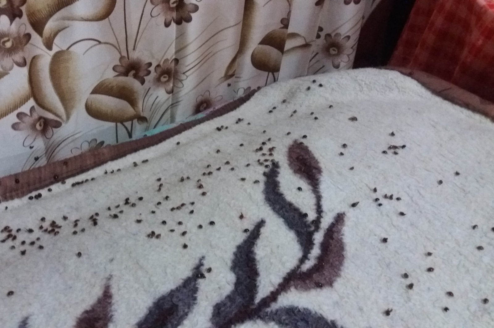 A group of ladybugs in a house in northeastern Turkey's Rize, Dec. 3, 2020. (DHA Photo)