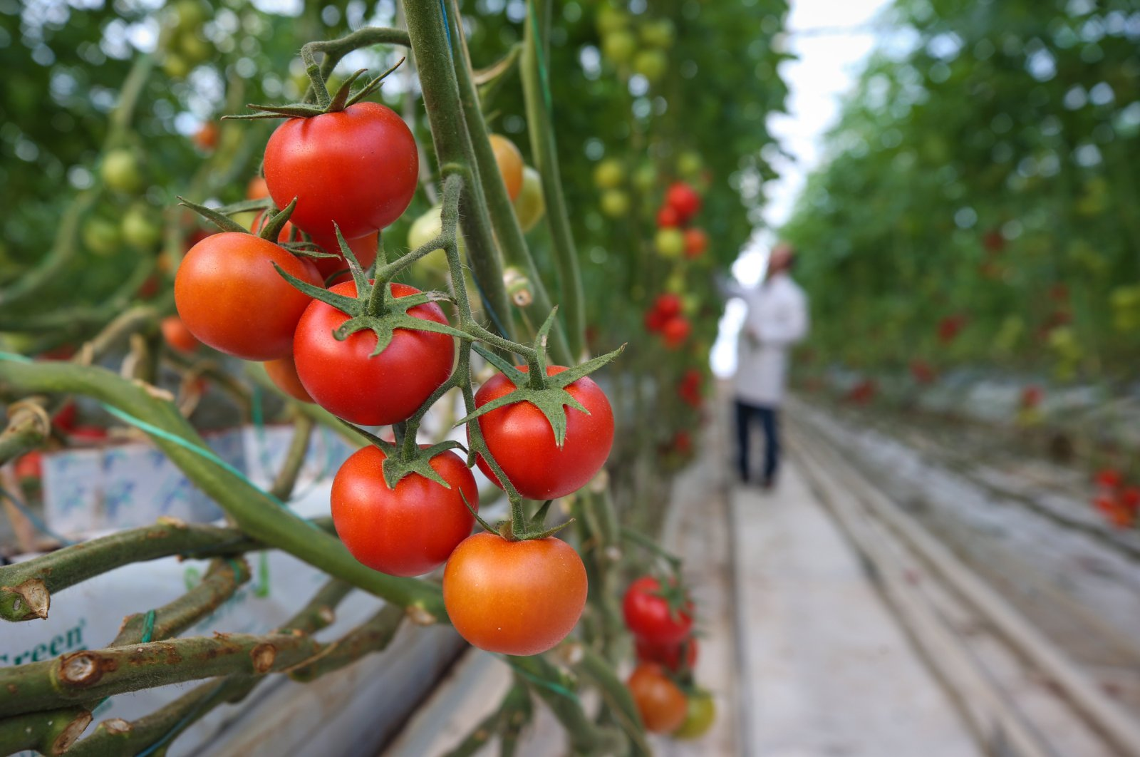 Tomatoes seen in a greenhouse where soilless agriculture is being conducted, in Van, eastern Turkey, Jan. 2, 2019. (AA Photo)