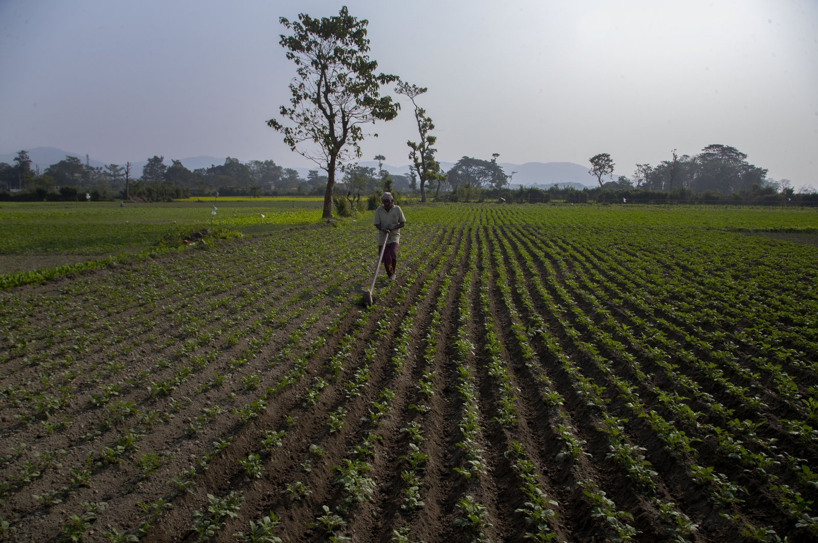 A farmer works in his field during a nationwide shutdown called by thousands of Indian farmers protesting new agriculture laws in Gauhati, in the northeastern state of Assam, India, Dec. 8, 2020. (AP Photo)