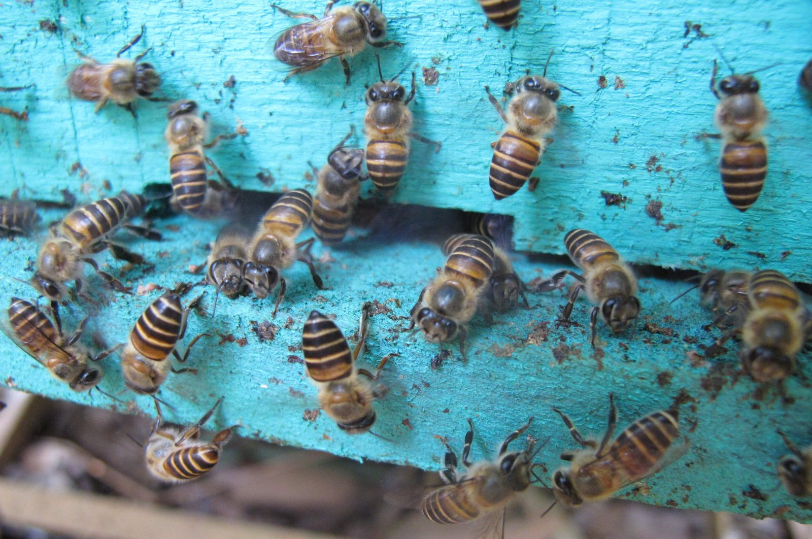This undated handout photo released by Heather Mattila, PLOS ONE, shows Apis cerana, a species of bee on a hive in Vietnam. (AFP Photo)
