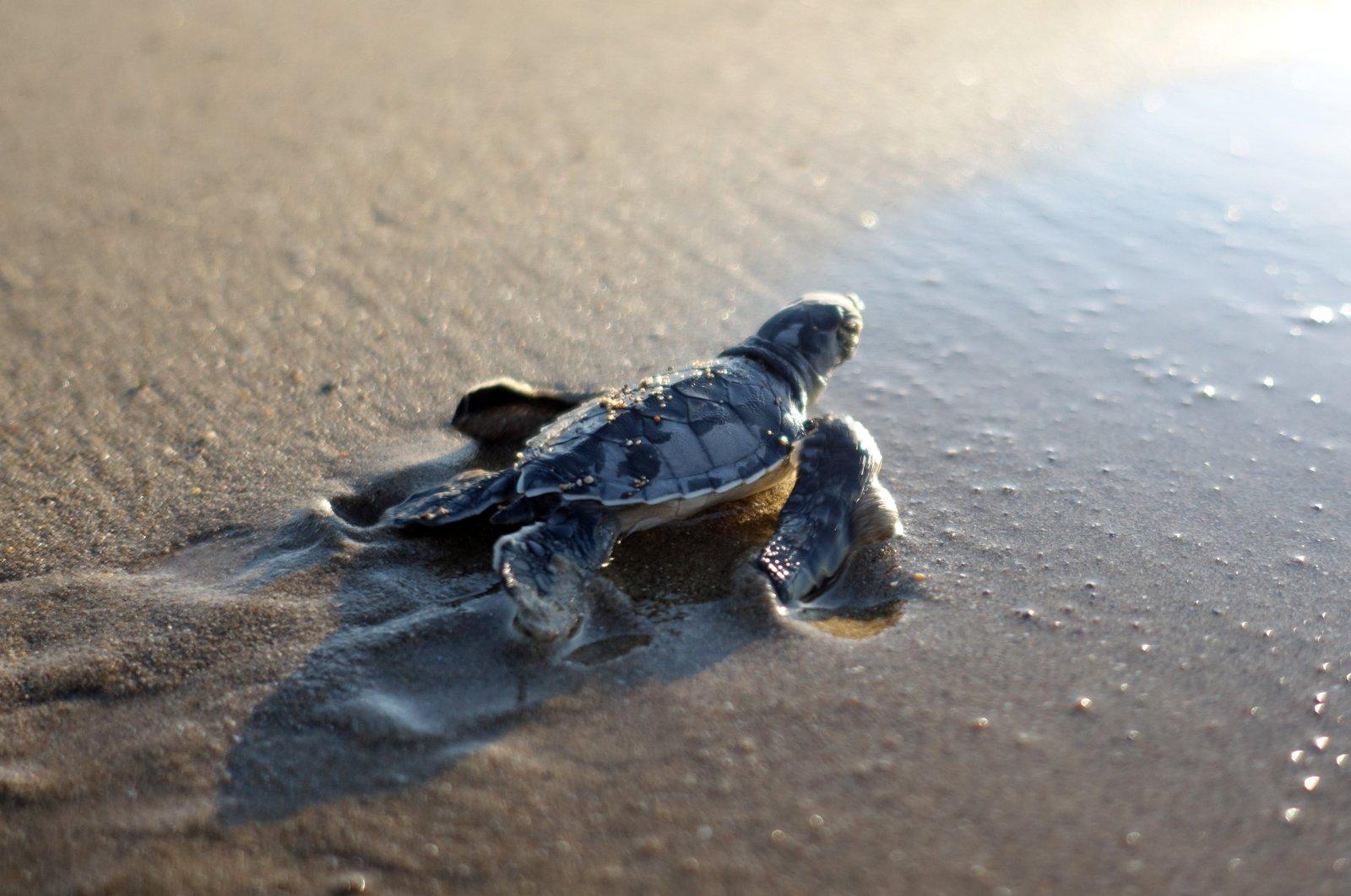 A loggerhead sea turtle is seen crawling toward the Mediterranean Sea at a beach in Antalya, southern Turkey on Nov. 19, 2020. (DHA Photo)