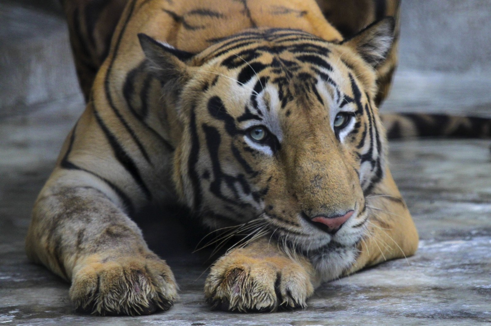 A Royal Bengal tiger rests at its enclosure at the Alipore zoo in Kolkata, India, July 29, 2019. (AP Photo)