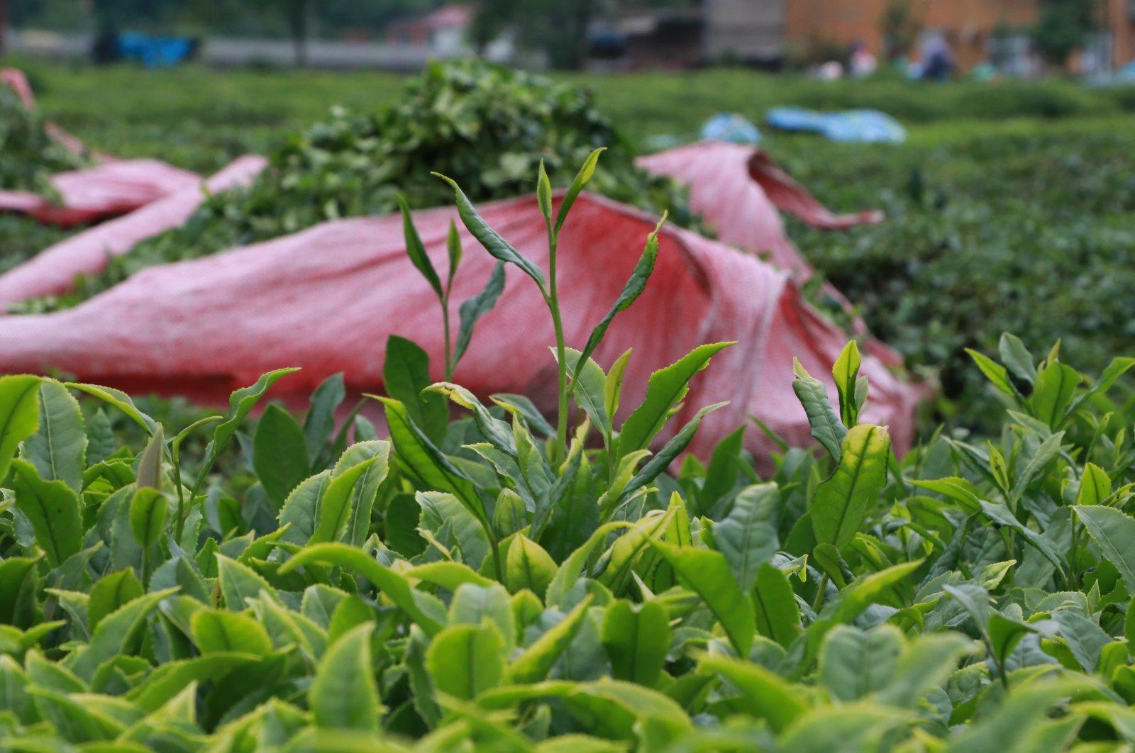 Tea plants ready to be harvested in Turkey's Black Sea region. (AA Photo)