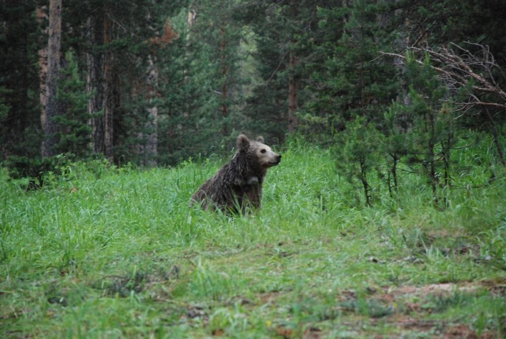 "The brown bear called ""Arkadaş"" wanders in her natural habitat in eastern Turkey. (DHA Photo)"