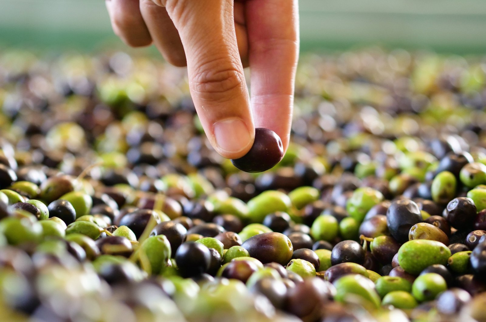 If picking olives to make oil, pick those with a light yellow color from the earliest harvest. (Shutterstock Photo)