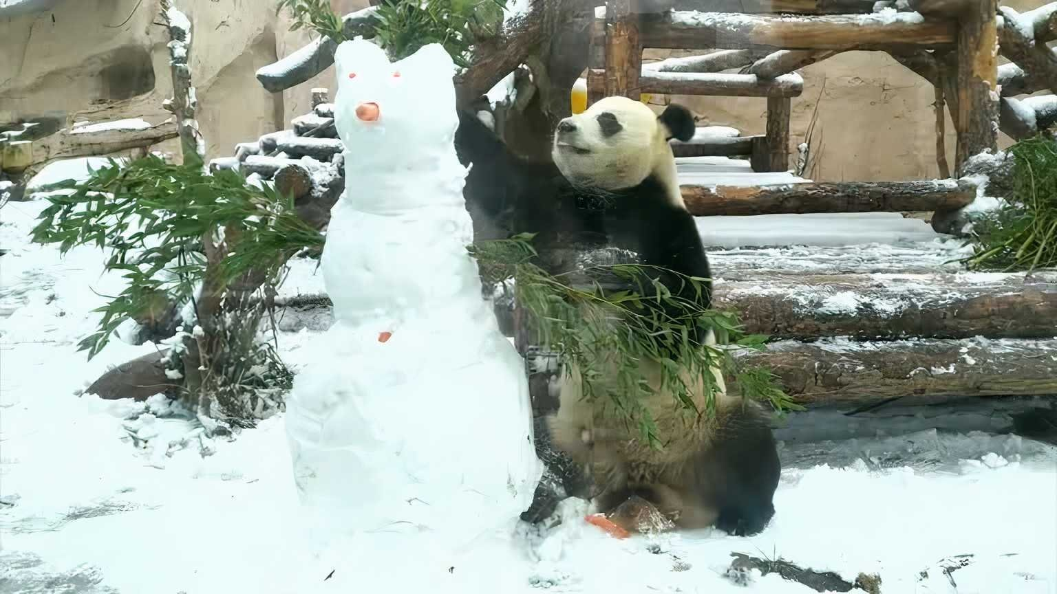 Giant panda Ru Yi fights a snowman in the Moscow zoo. (Reuters Photo)