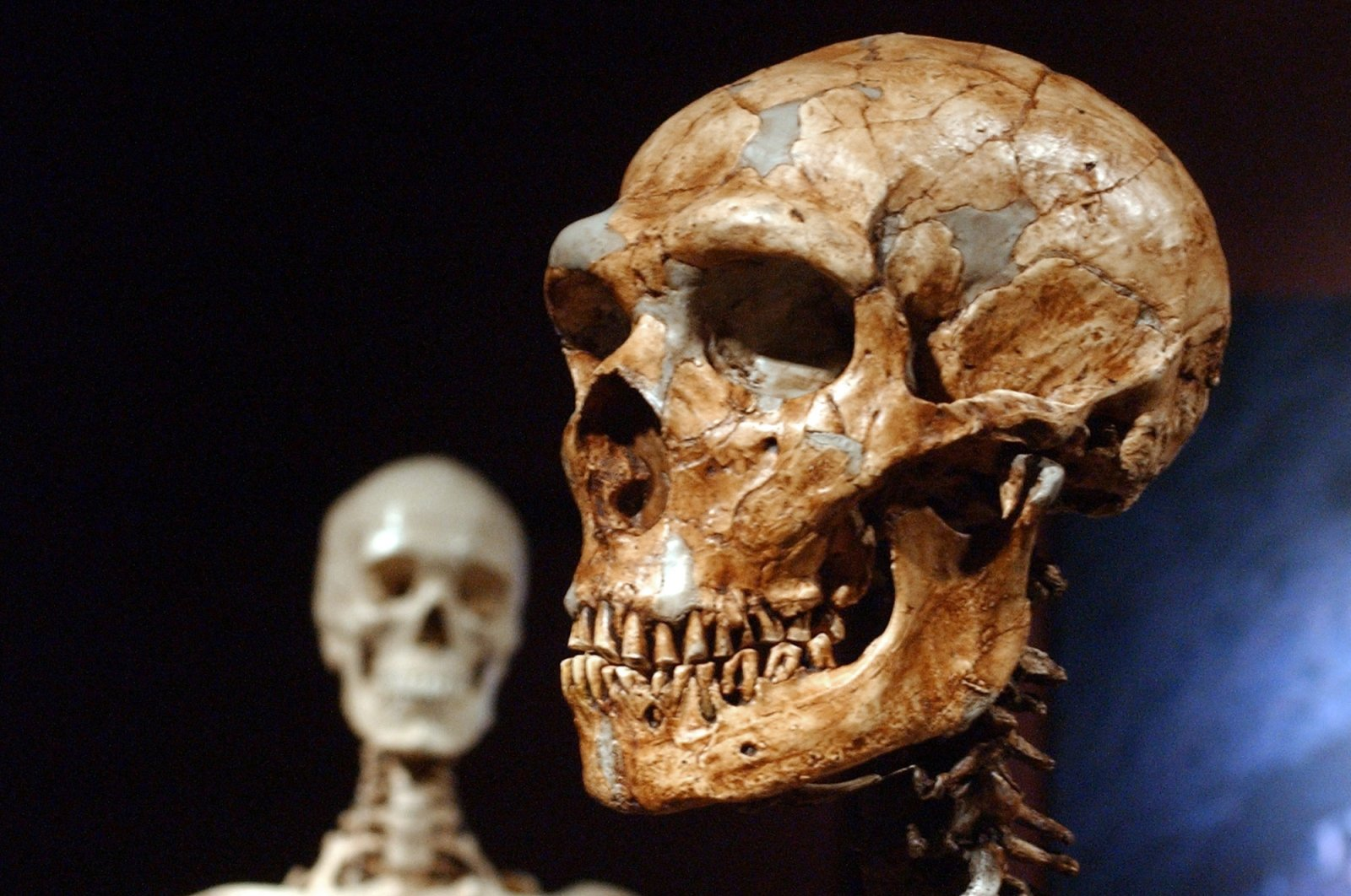 A reconstructed Neanderthal skeleton (R) and a modern human version of a skeleton (L) on display at the Museum of Natural History in New York City, New York, U.S., Jan. 8, 2003. (AP Photo)