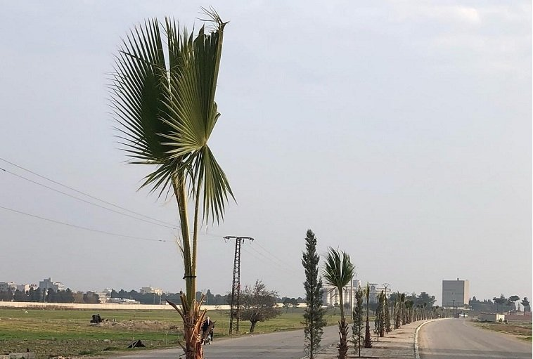 Palm trees planted along a road in Tal Abyad, Syria, Dec. 23, 2020. (AA PHOTO)