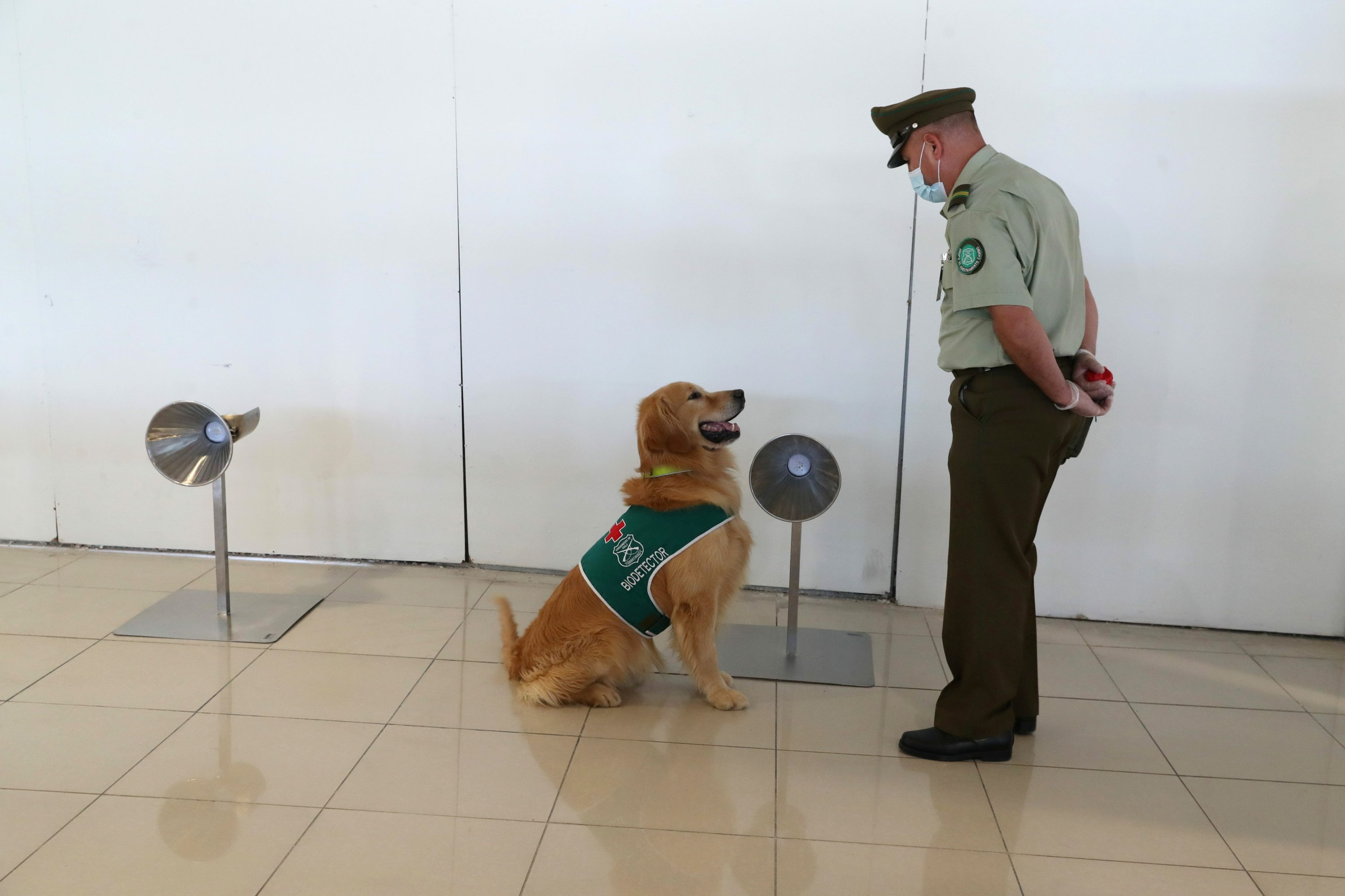 A sniffer dog trained to detect COVID-19 in highly frequented places works at the International Airport of Santiago, Chile, Dec. 21, 2020. REUTERS/Ivan Alvarado