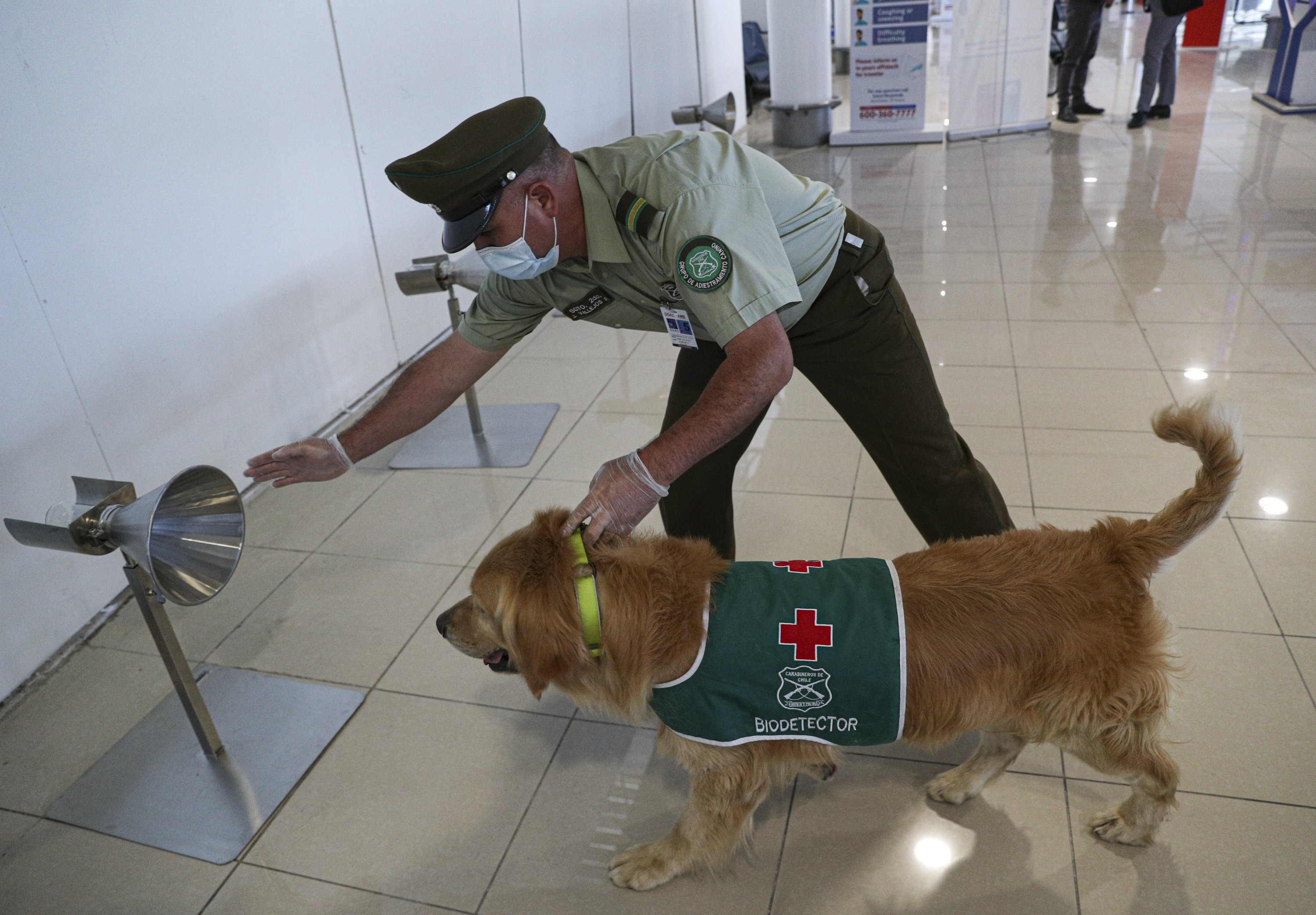 A police handler and his COVID-19 sniffer dog give a demonstration at the Arturo Merino Benítez International Airport in Santiago, Chile, Monday, Dec. 21, 2020. Coronavirus sniffer dogs will start working Tuesday at the airport, according to Interior Minister's office. (AP Photo/Esteban Felix)