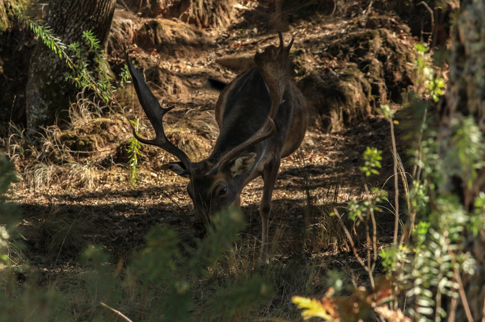 A deer in the Mafra gorge, Lisbon, Portugal. (Shutterstock Photo)