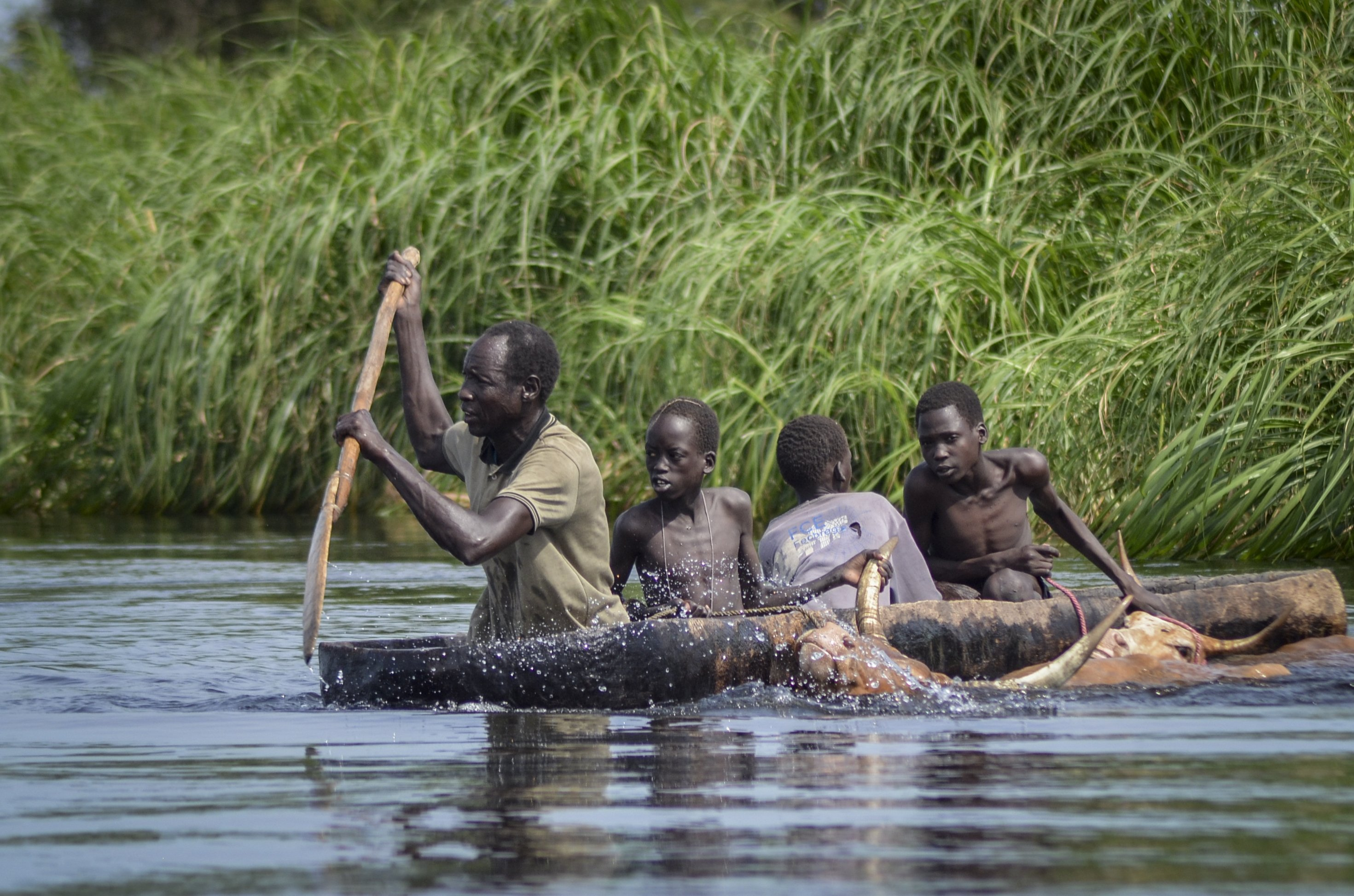 A father and his sons transport cows from a flooded area to drier ground using a dugout canoe, in Old Fangak county, Jonglei state, South Sudan, Nov. 25, 2020. (AP Photo)