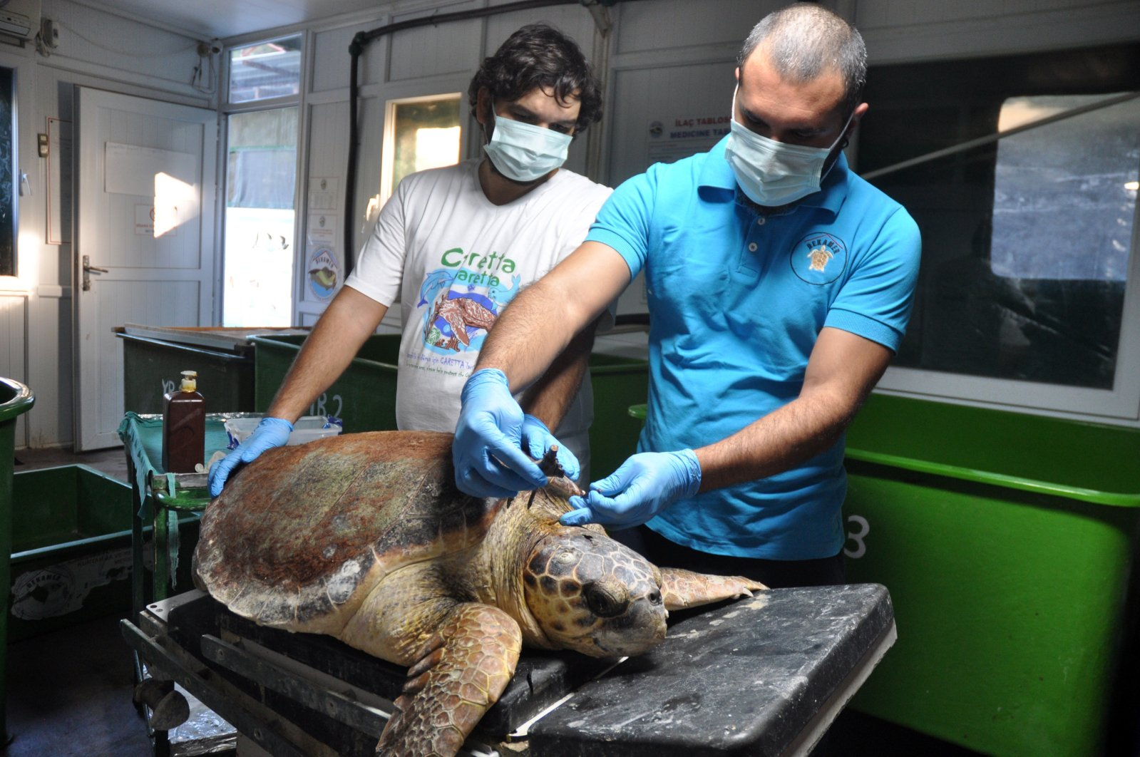 Rehabilitated in the care of the Sea Turtle Research, Rescue and Rehabilitation Center (DEKAMER) workers treating a Caretta caretta sea turtle in Turkey's Muğla province, Jan. 4, 2021. (AA Photo)