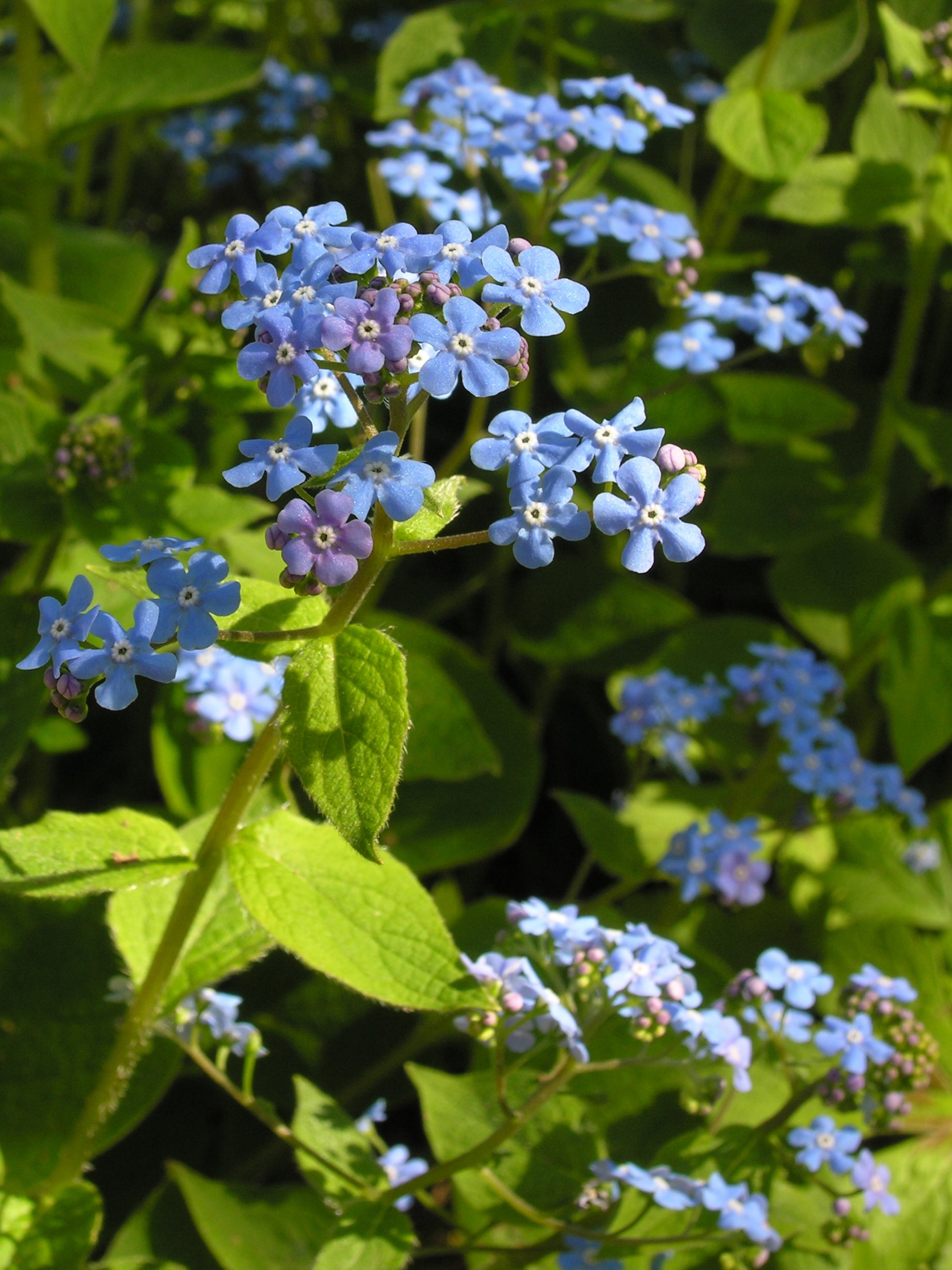 The forget-me-not thrives in partial shade. (DPA Photo)