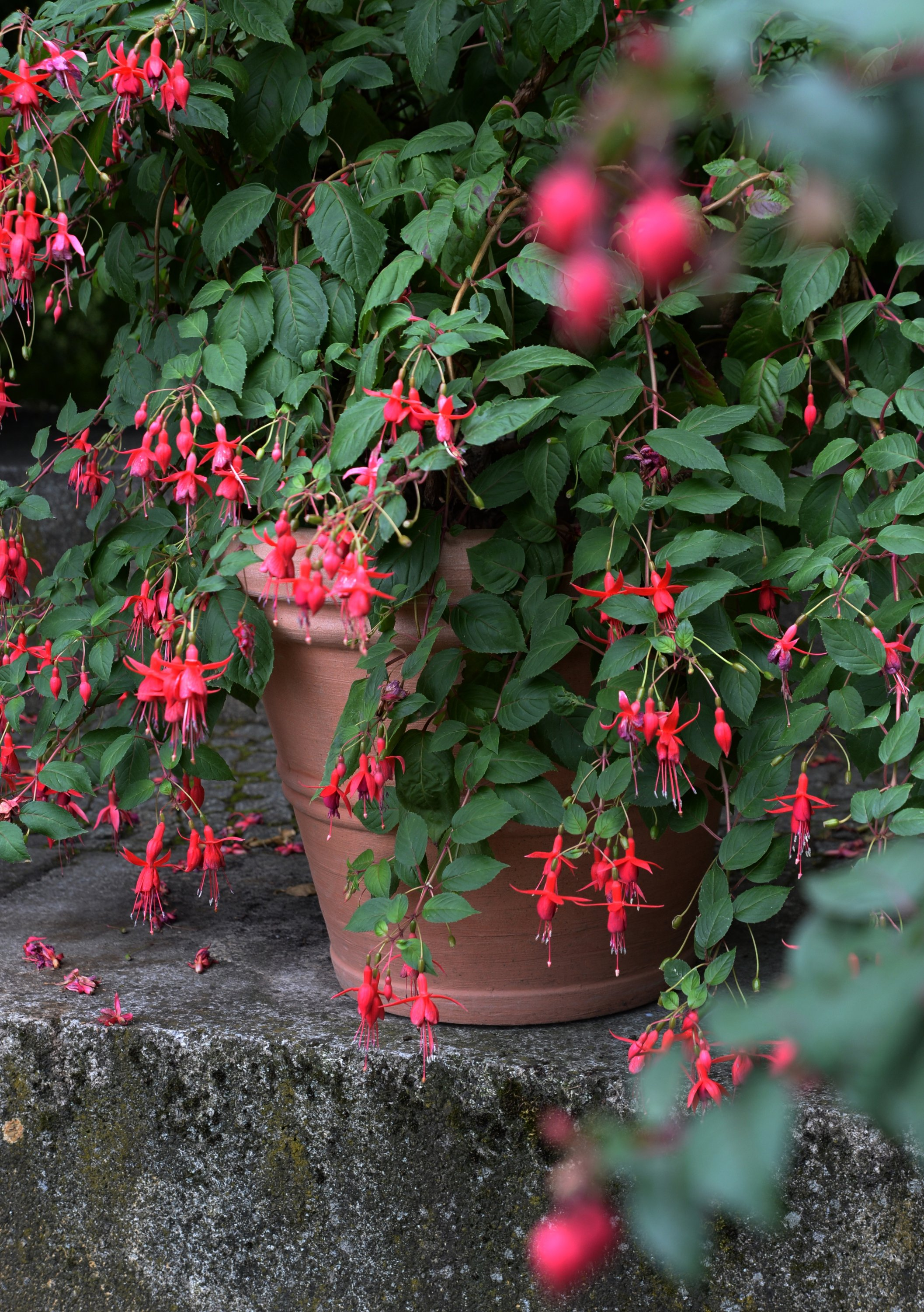 Fuchsias also develop splendidly in the shade. (DPA Photo)