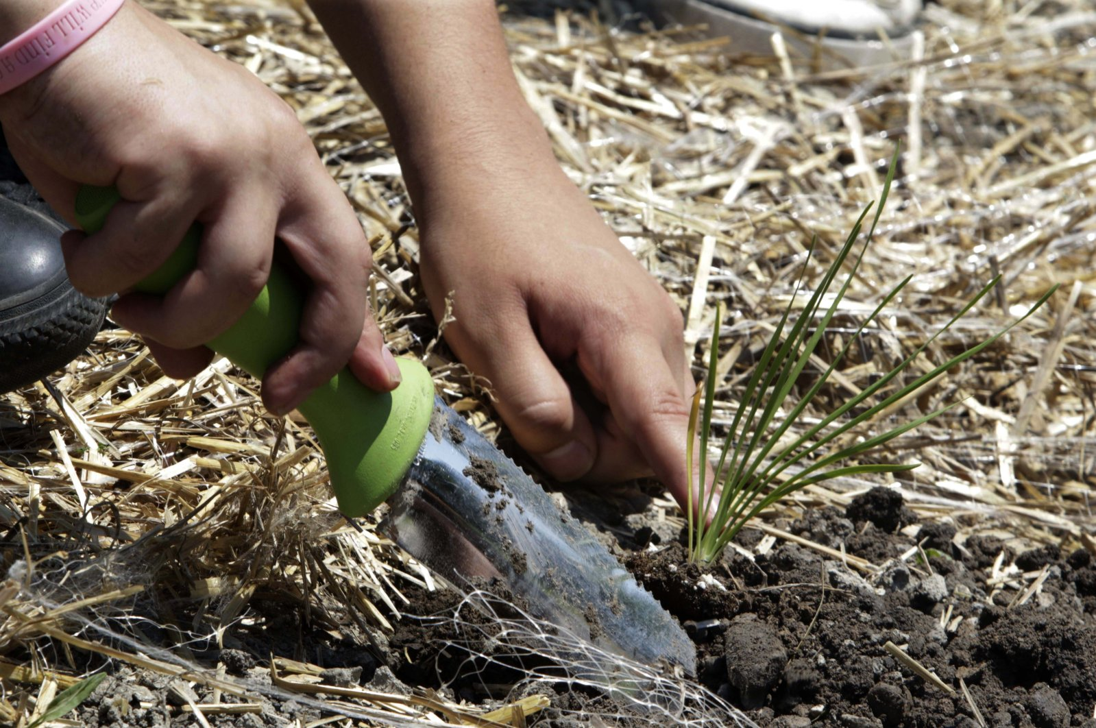A man puts an onion plant in the ground during a gardening exercise with the American Indian Center in Chicago, Illinois, July 10, 2014. (AP Photo)
