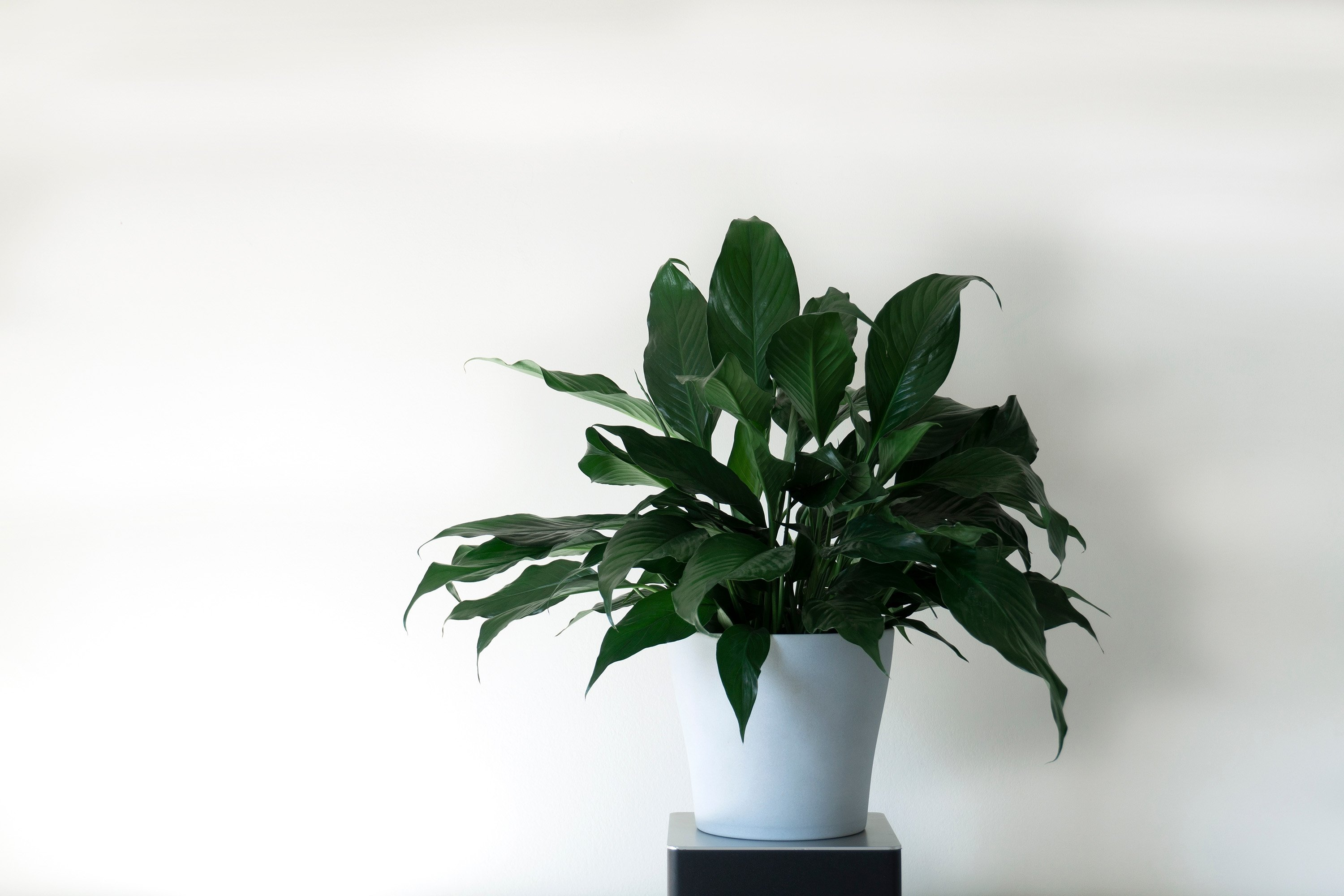 Peace lilies are quite robust and look pretty. (Shutterstock Photo)