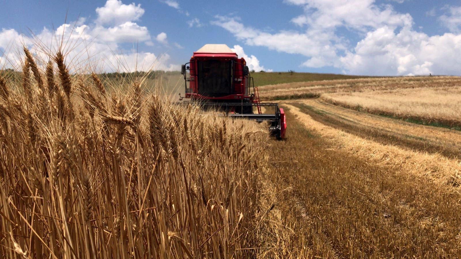 A combine harvesterreaps seasonal wheat at a farm in northwestern Edirne province, Turkey,June 20, 2019. (AA Photo)