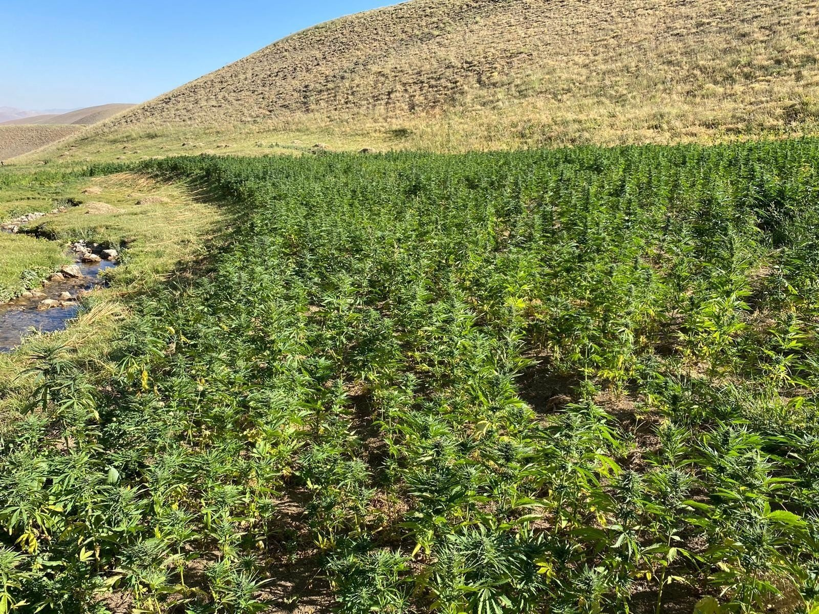 Seized cannabis gardens in the countryside of Van province, eastern Turkey, Aug. 22, 2020. (IHA Photo)