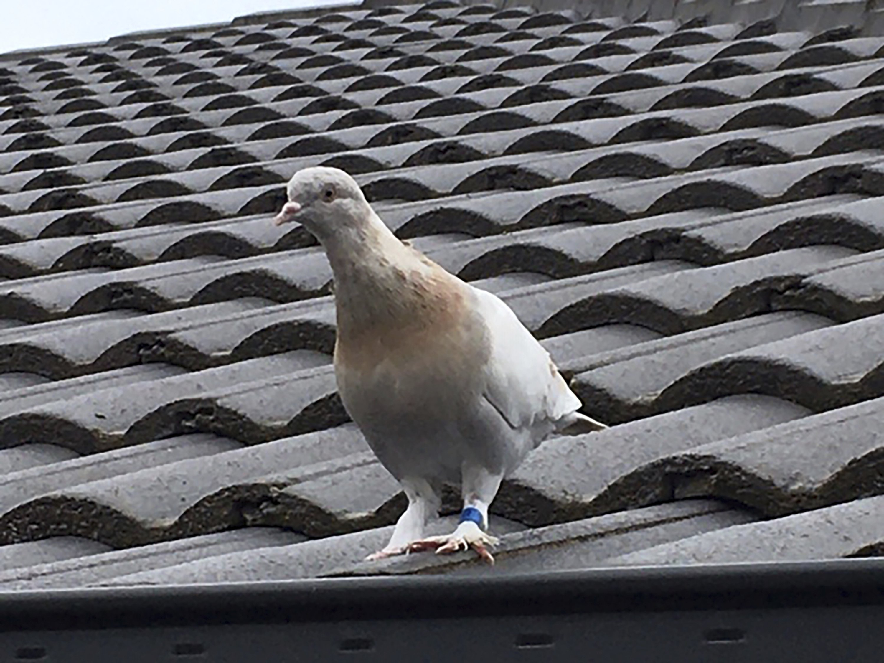 The racing pigeon, first spotted in late December 2020, sits on a rooftop in Melbourne, Australia, Jan. 12, 2021. (Channel 9 Photo via AP)
