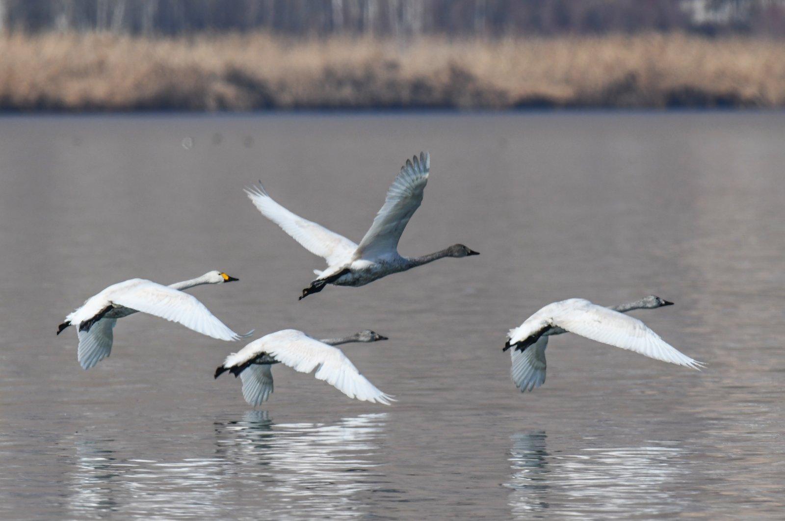 Whooper swans glide over the water of Lake Van, eastern Turkey, Jan. 19, 2021. (AA Photo)