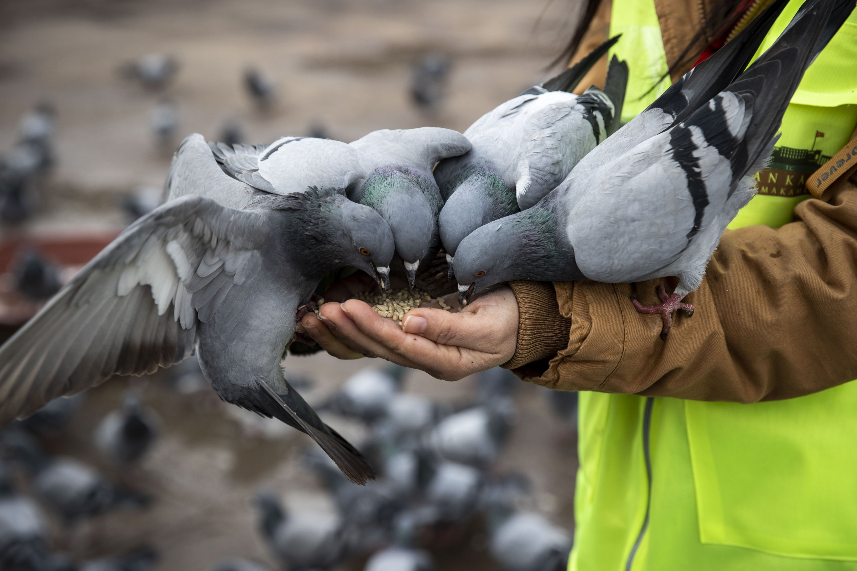 A Vefa group member feeds hungry pigeons at Güvenpark, in the capital Ankara, Turkey, Jan. 16, 2021. (AA PHOTO)