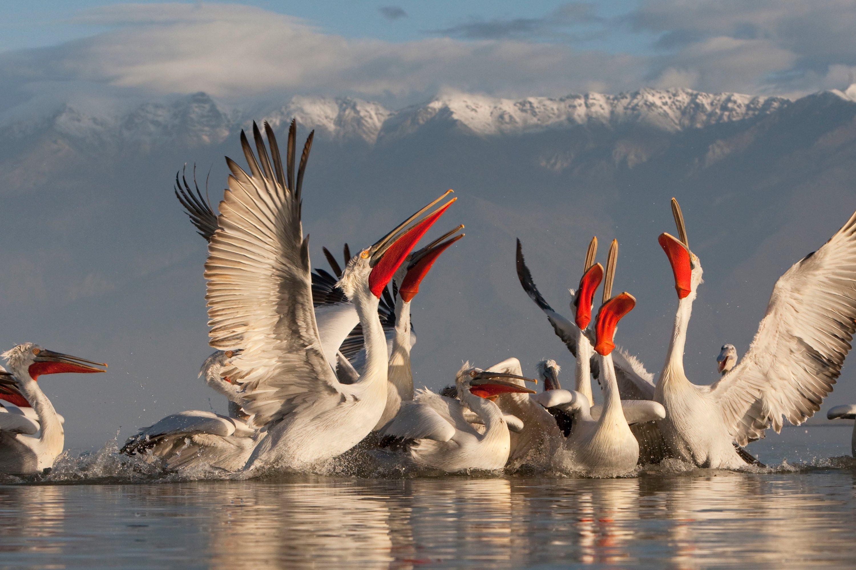 Dalmatian pelicans at Lake Kerkini in Greece. (Courtesy of WWF Turkey)