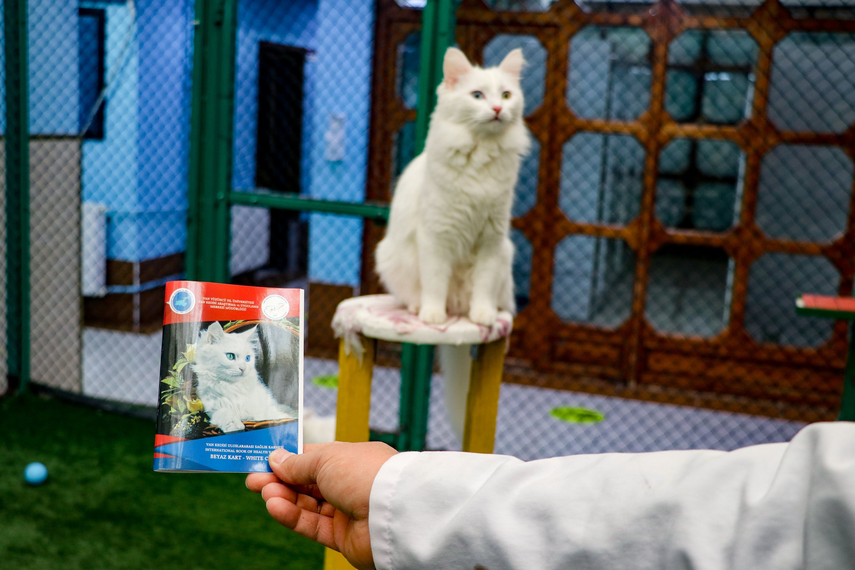 Seekor kucing berpose di sebelah ID yang dibuat untuknya, di Van, Turki timur, 20 Januari 2021. (AA PHOTO)