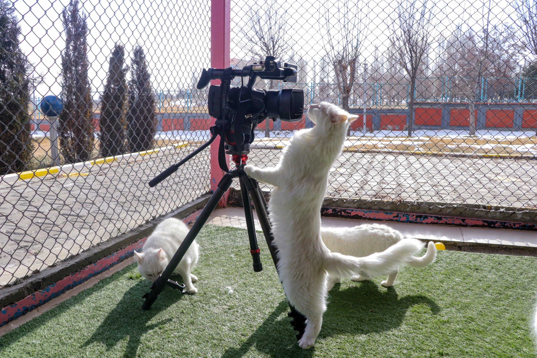 Seekor kucing Van memeriksa kamera yang dipasang di