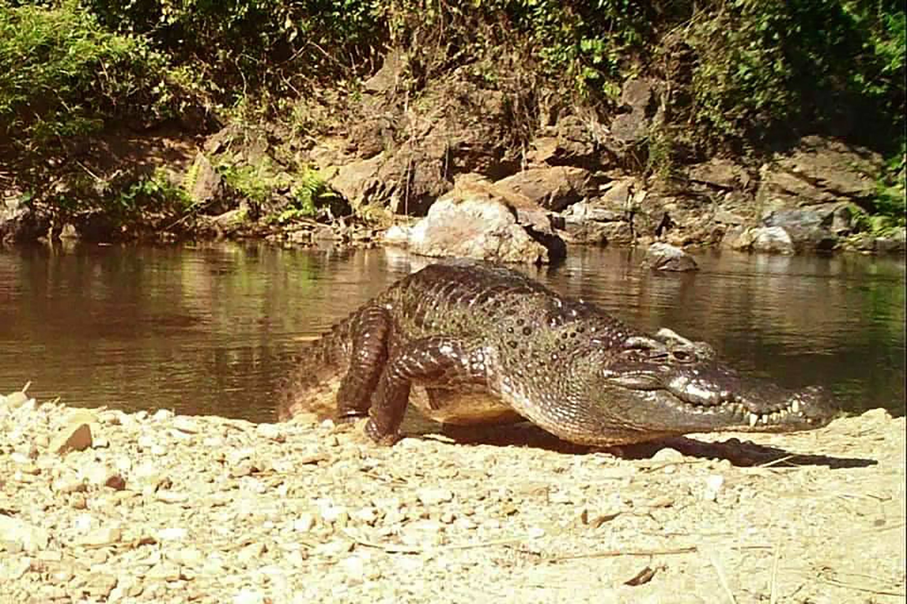 This camera trap photo shows a freshwater Siamese crocodile by Kaeng Krachan National Park, Thailand on Jan. 23, 2021. (AFP Photo)