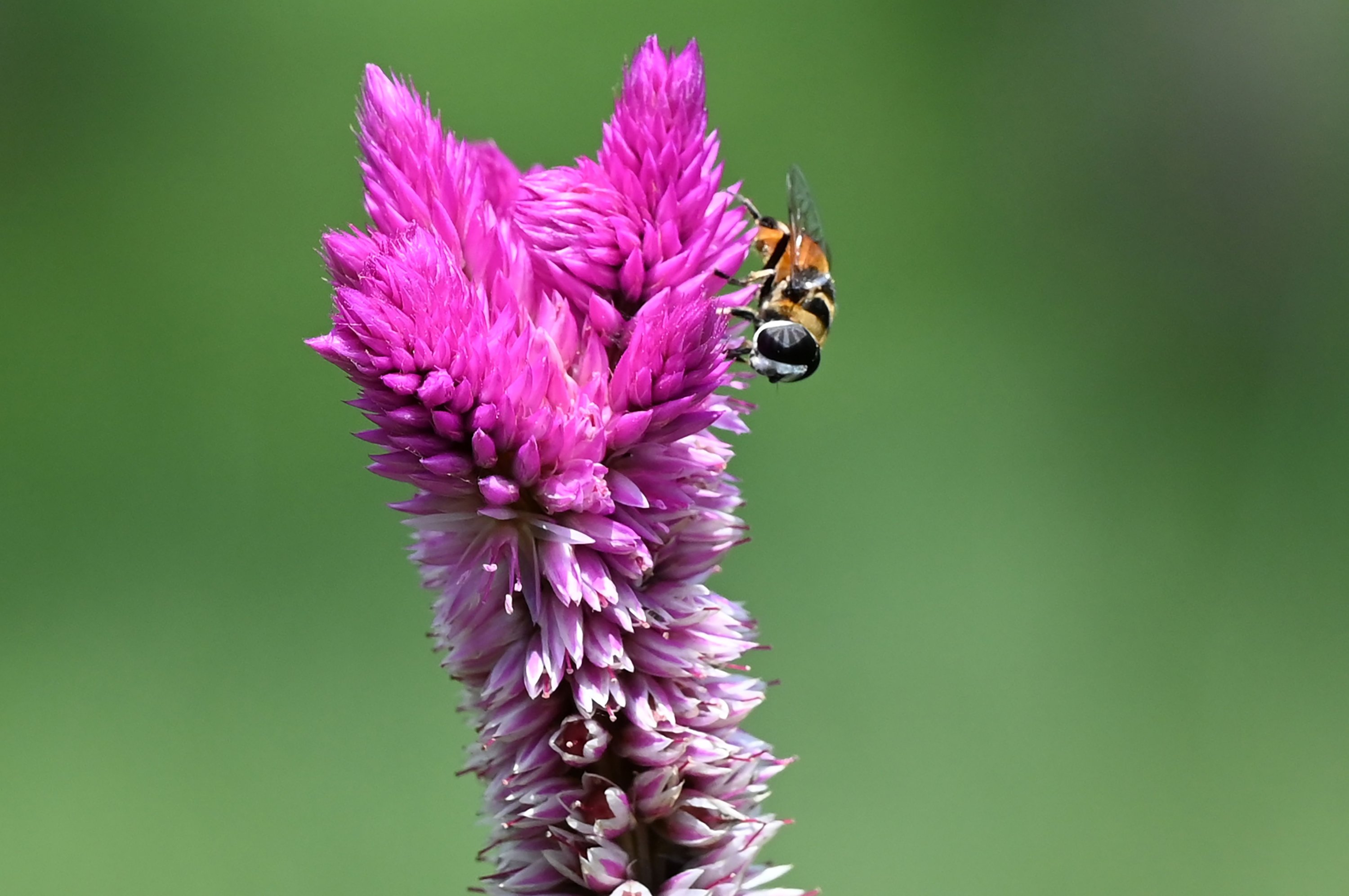 A bee collects nectar from a flower at a park in Singapore, Jan. 15, 2021. (AFP Photo)