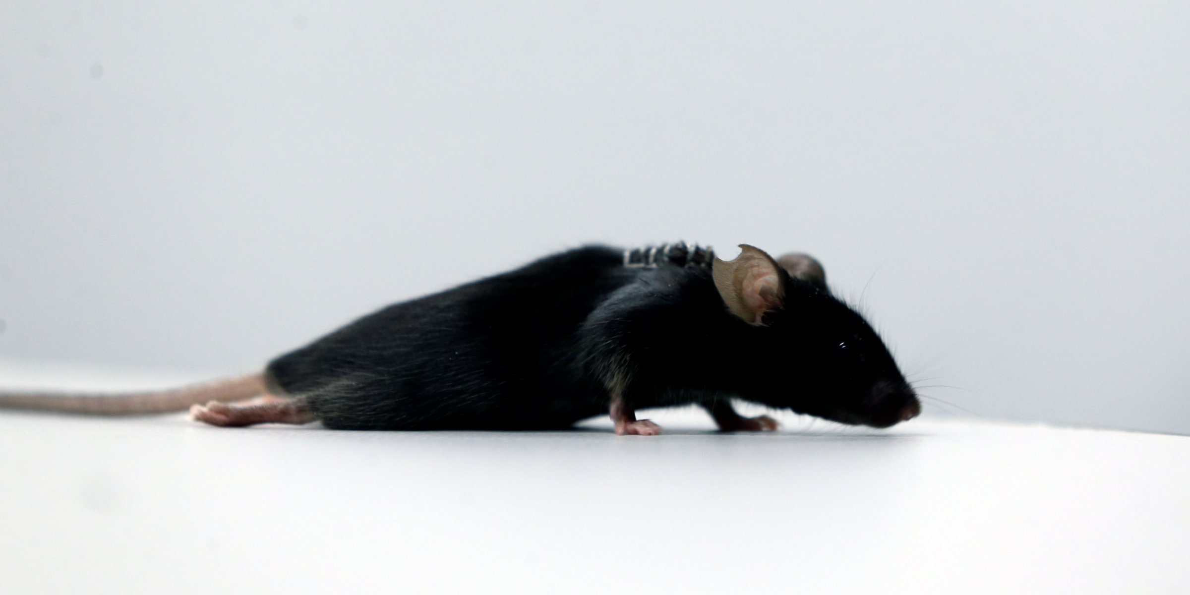 Mice paralyzed with spine injury walk again after new treatment | Daily Sabah - Daily Sabah