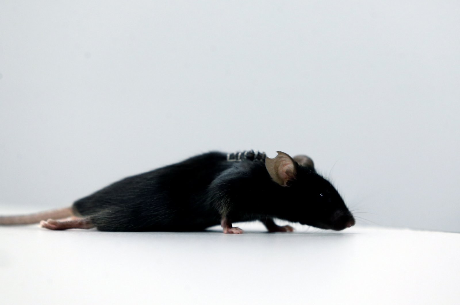 A paralyzed mouse at a lab at Ruhr University, where scientists discovered a way to restore the ability to walk in mice that had been paralyzed after a complete spinal cord injury, in Bochum, Germany, Jan. 21, 2021. (Reuters Photo)