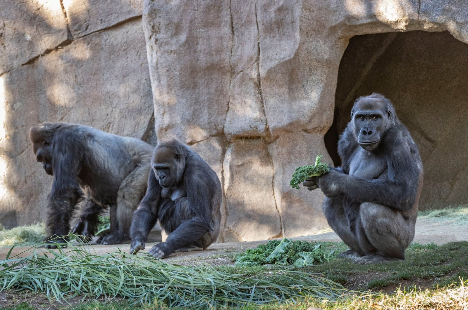 Gorillas sit after two of their troop tested positive for COVID-19 after falling ill, and a third gorilla appears also to be symptomatic, at the San Diego Zoo Safari Park in San Diego, California, U.S. on Jan. 10, 2021. (Reuters Photo)