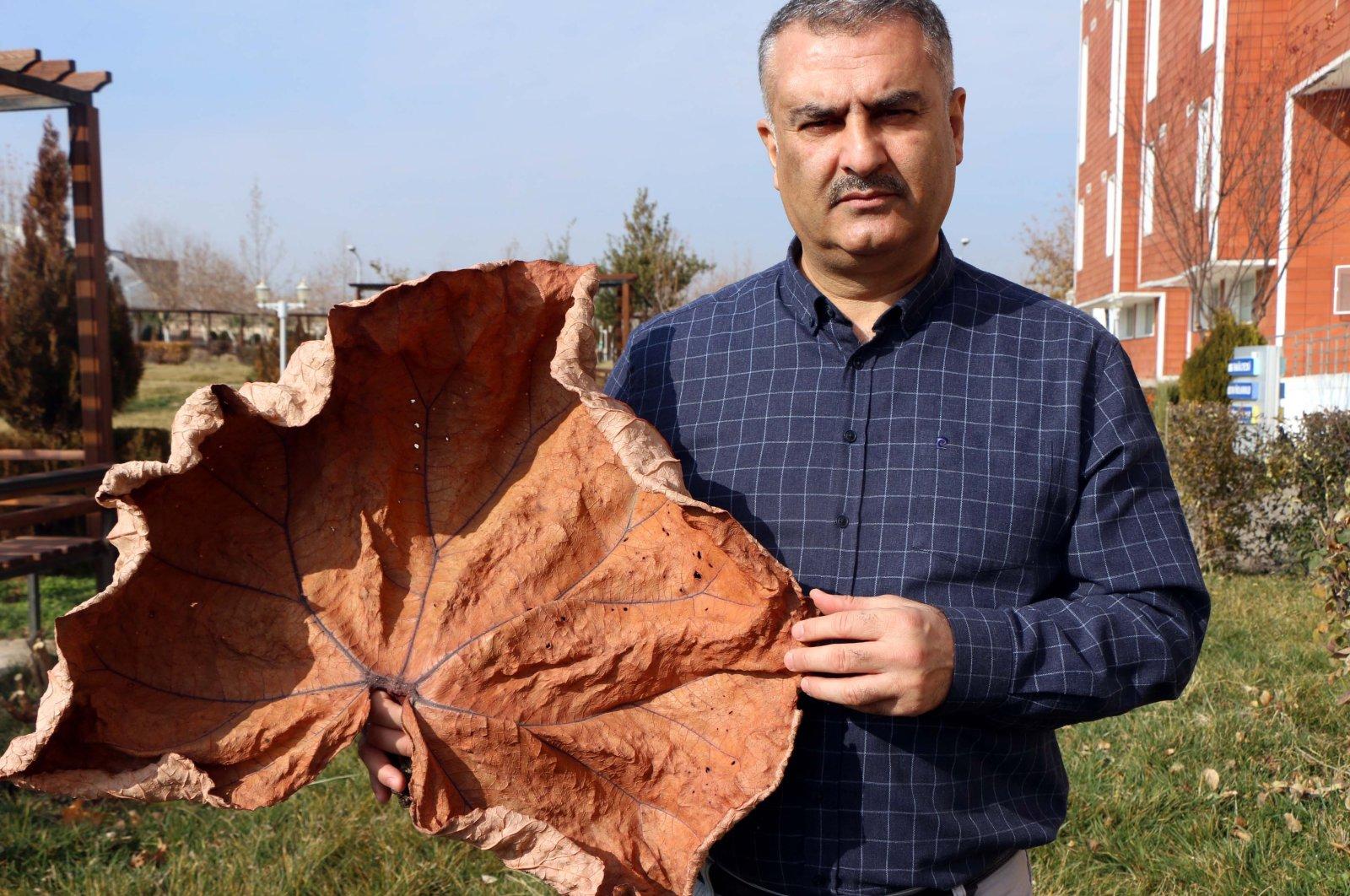"Professor Ahmet Zafer Tel holds a dried ""Rheum telianum"" plant, a newly classified species named after him, Adıyaman, southeastern Turkey, Jan. 27, 2021. (DHA Photo)"