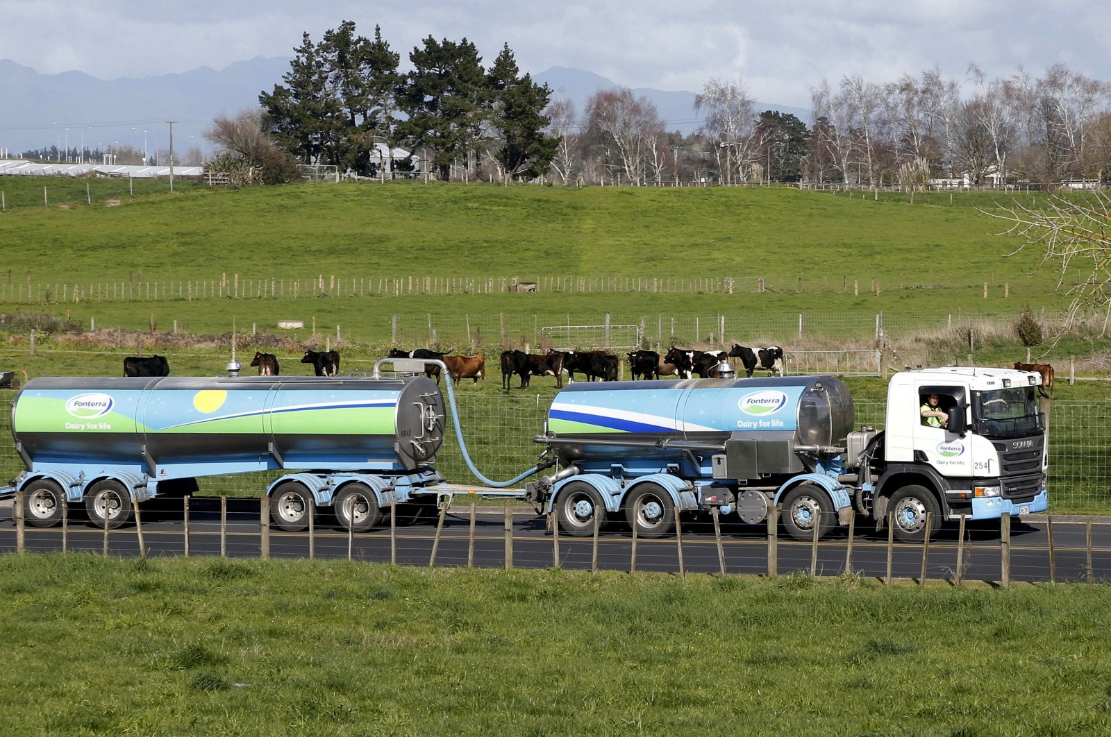 A milk tanker drives past dairy cows as it arrives at a plant near Hamilton, New Zealand, Aug. 6, 2013. (Reuters Photo)