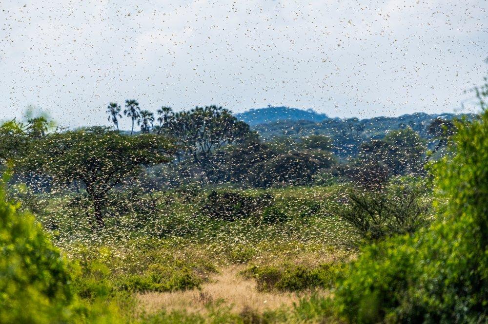 The Samburu landscape is engulfed by a swarm of invasive, destructive desert locusts, Samburu, Kenya. (Shutterstock Photo)