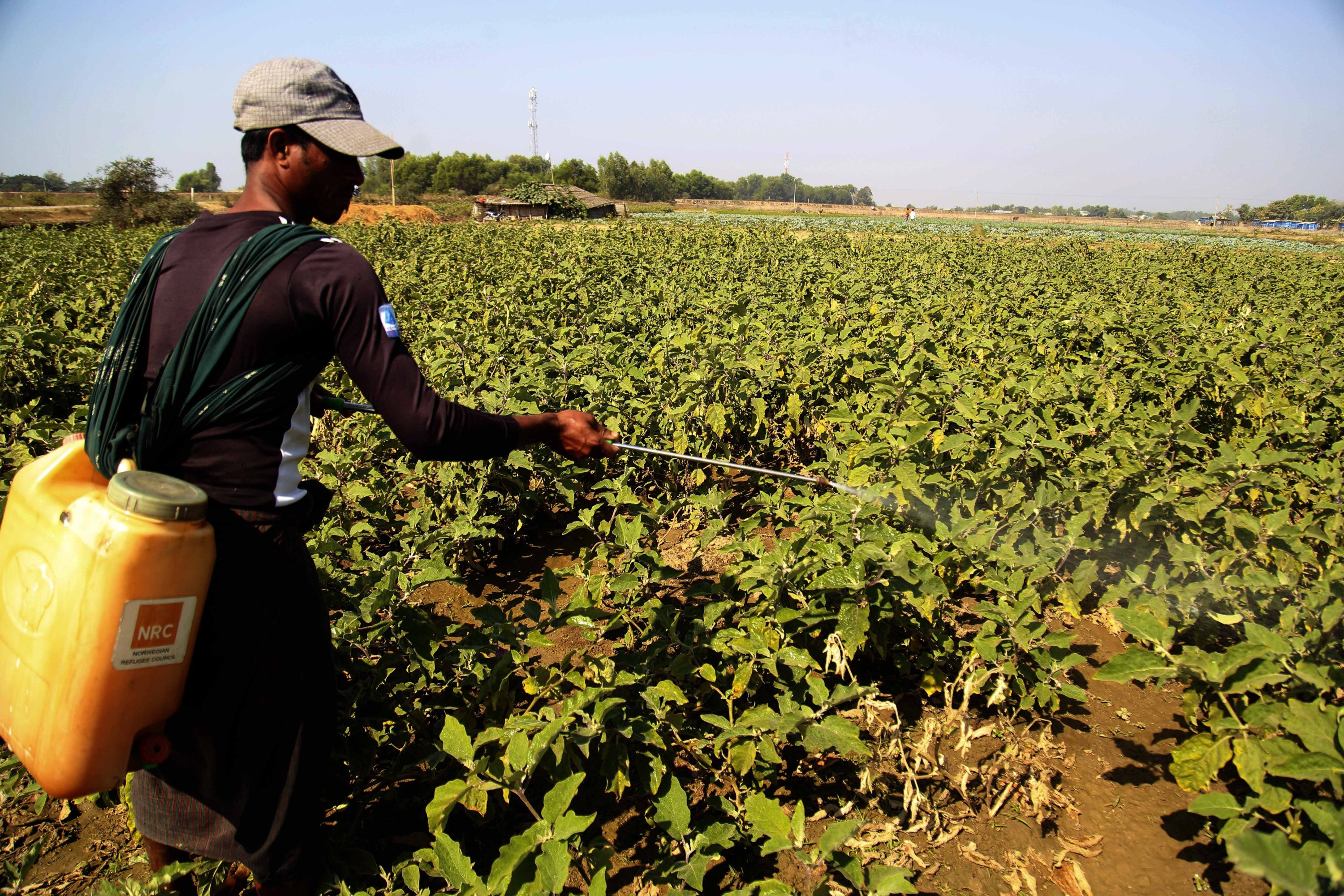 A man sprays insecticides on vegetables planted at the Thet Kel Pyin internally displaced persons (IDP) camp in Sittwe, Rakhine State, Myanmar, Feb. 3, 2021. (EPA Photo)