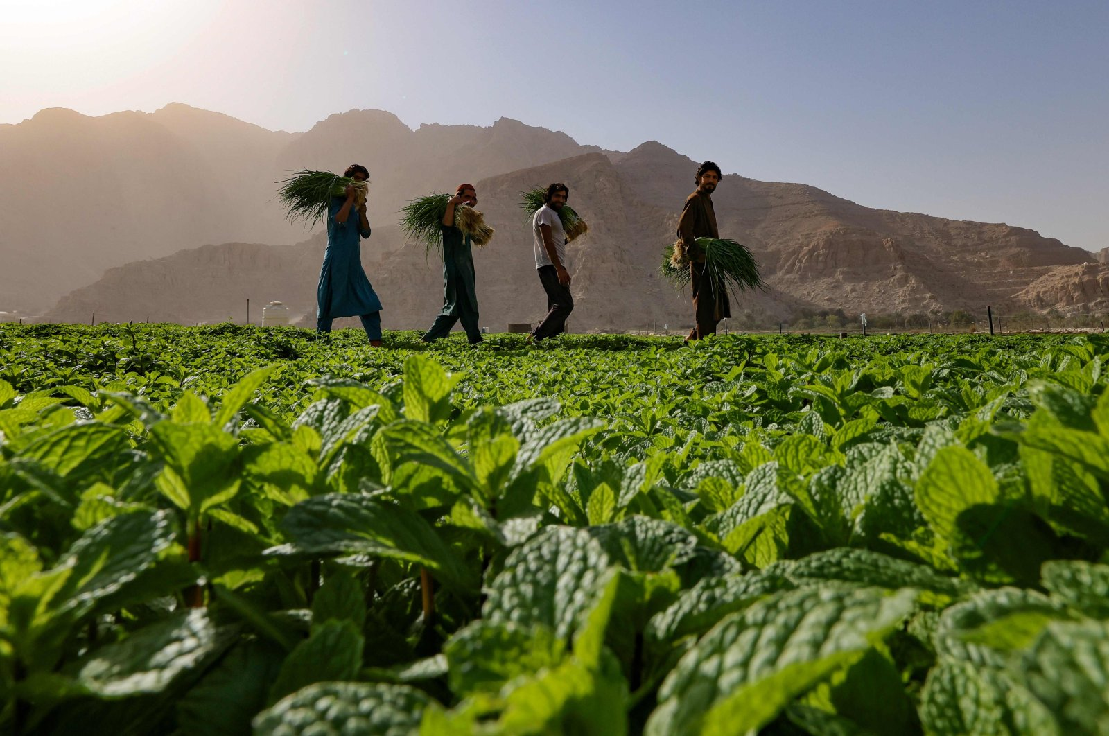 Farmers harvest leafy vegetables in a field in the mountain range of Jabel Jais, in the Gulf Emirate of Ras Al Khaimah, United Arab Emirates, Jan. 24, 2021. (AFP Photo)