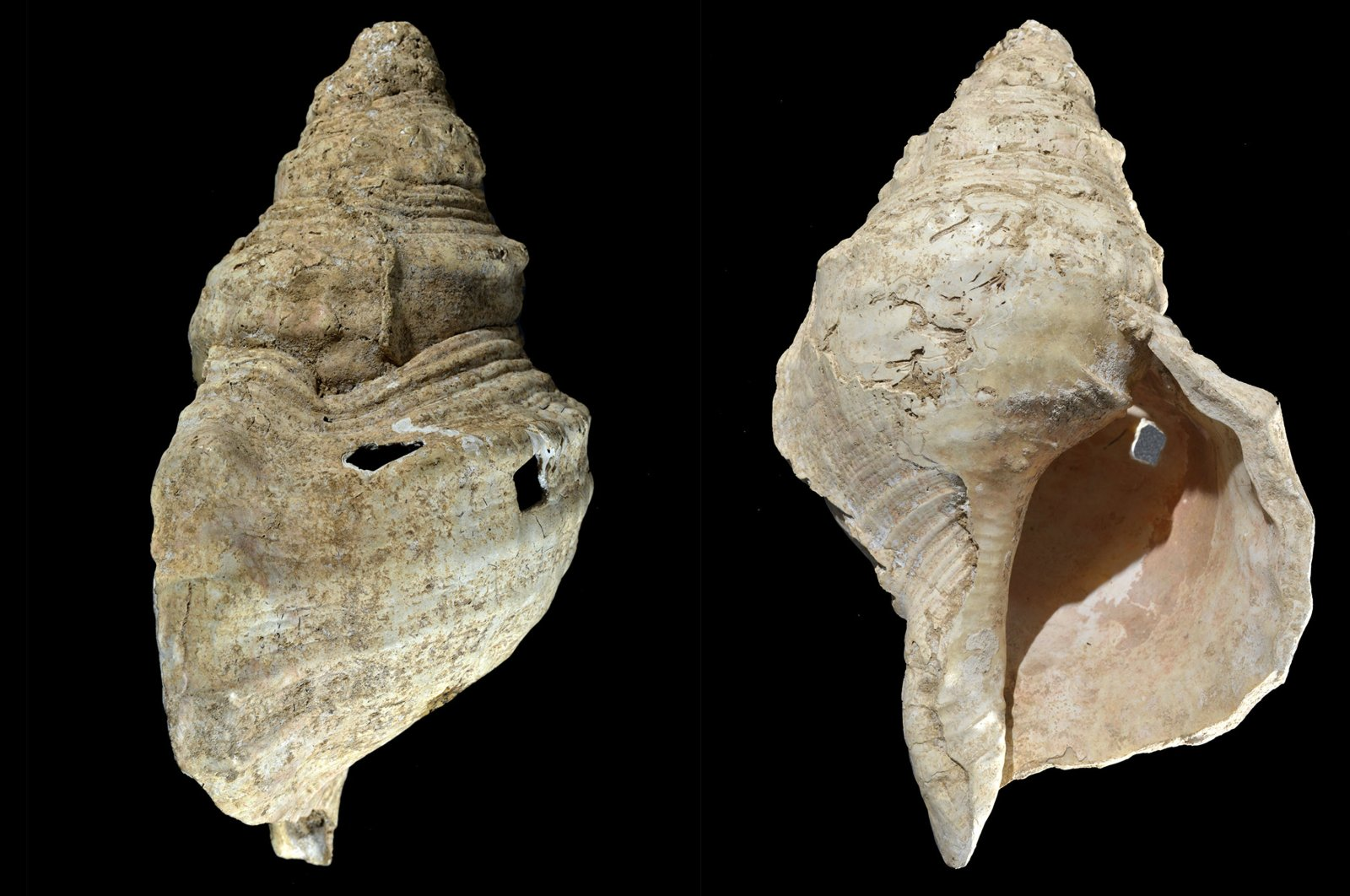 This combination of photos provided by researcher Carole Fritz in February 2021 shows two sides of a 12-inch (31 centimeters) conch shell discovered in a French cave with prehistoric wall paintings in 1931. (AP PHOTO)