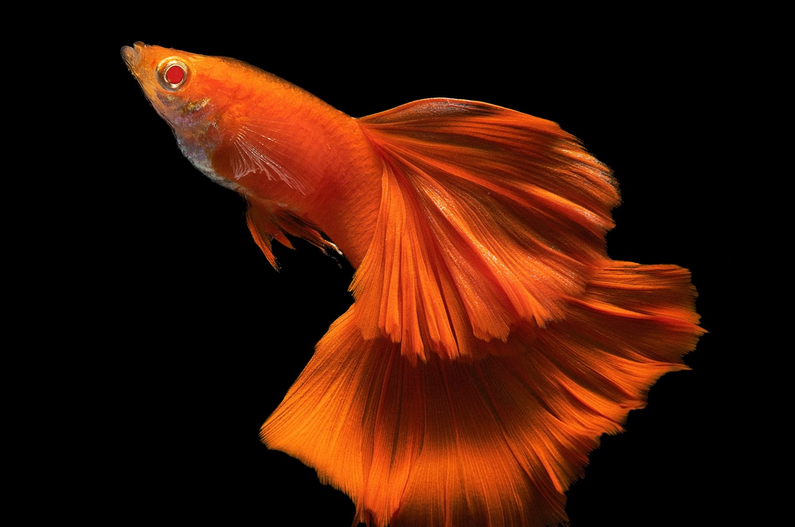 A full red albino male guppy fish with a big tail and dorsal. (Shutterstock Photo)