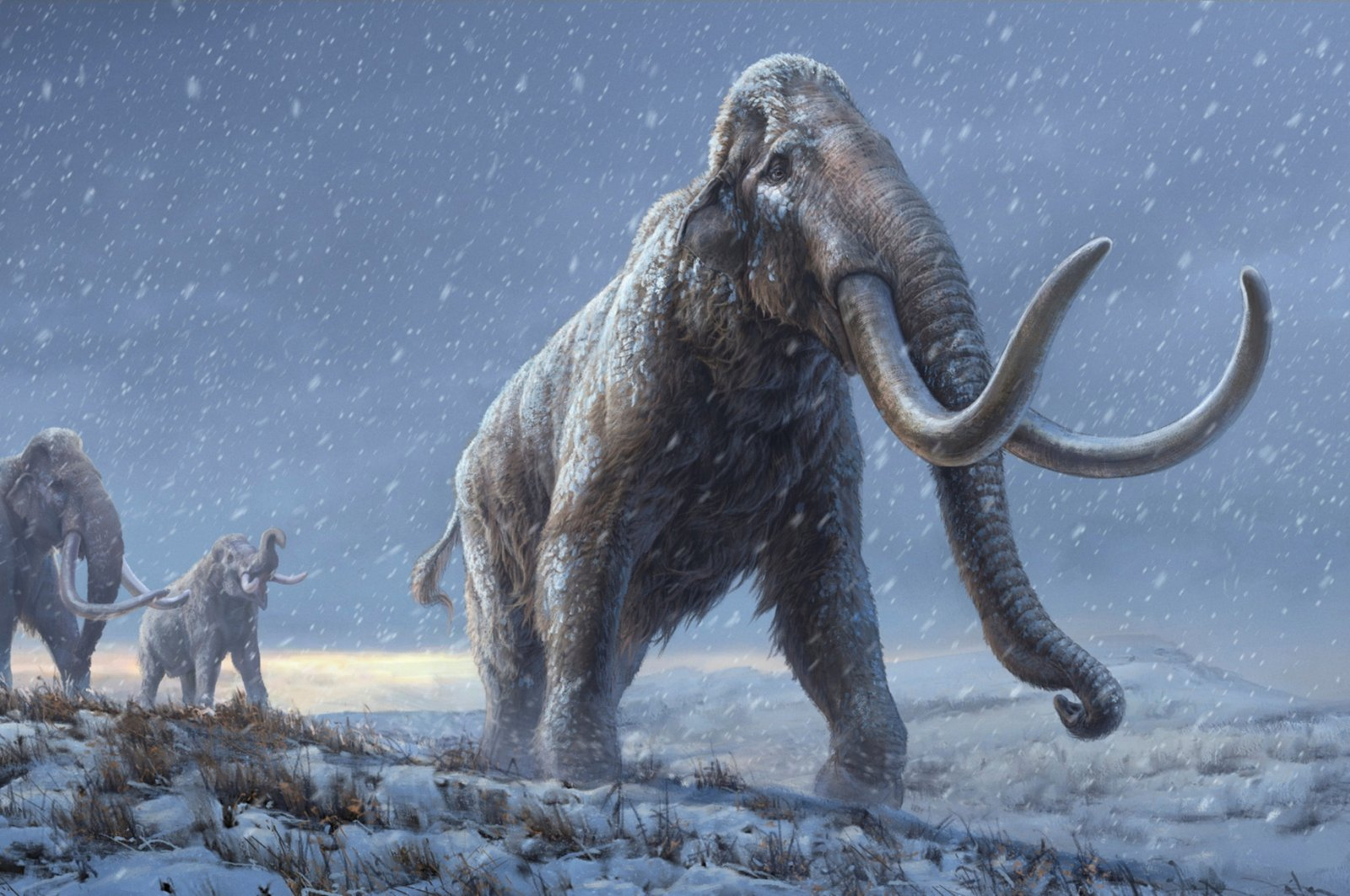 An artist's reconstruction shows the extinct steppe mammoth, an evolutionary predecessor to the woolly mammoth that flourished during the last Ice Age, based on the genetic knowledge gained from the Adycha mammoth specimen that from which DNA, more than 1 million years old, was extracted. (Reuters)