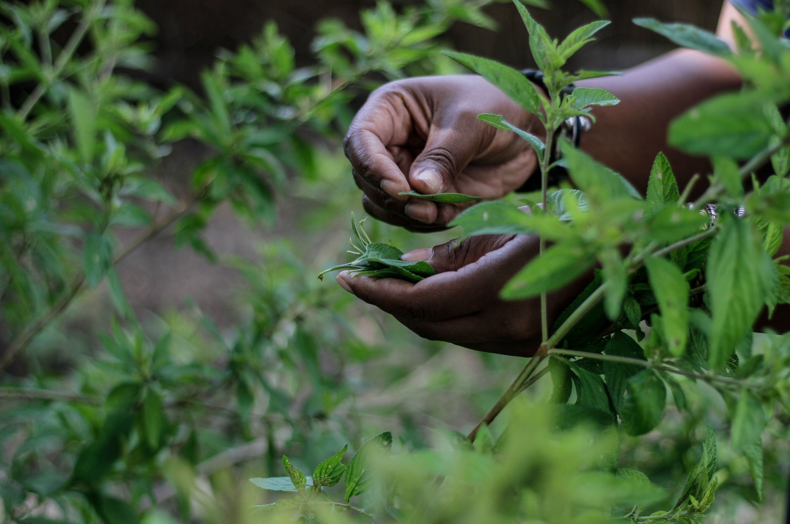Zumbani plant is seen being picked in a garden in Zimbabwe's Harare on Feb. 17, 2021 (AA Photo)