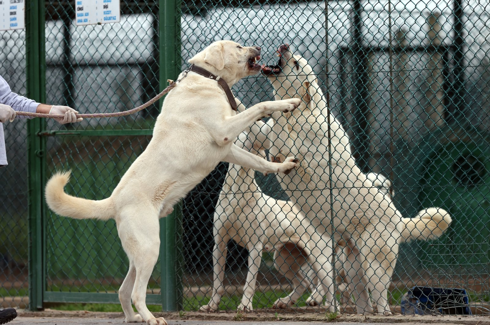Akbaş dogs at the breeding facility in Karacabey district, in Bursa, northwestern Turkey, Feb. 18, 2021. (AA Photo)