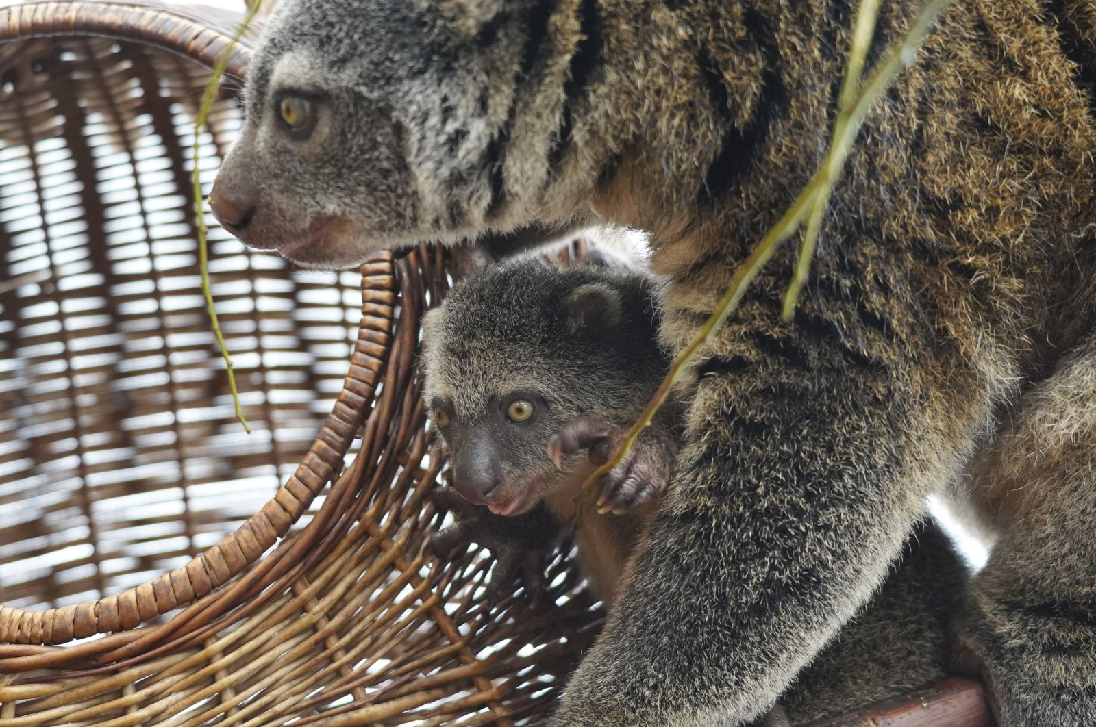 A baby of the highly endangered Indonesian cuscus bear with its mother Duzy at the Wroclaw Zoo in Wroclaw, Poland on Feb. 16, 2021. (AP Photo)
